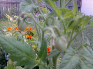 Green cherry tomatoes with marigolds in background.