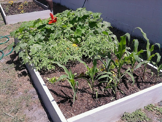 Vegetable garden filled with healthy young plants.