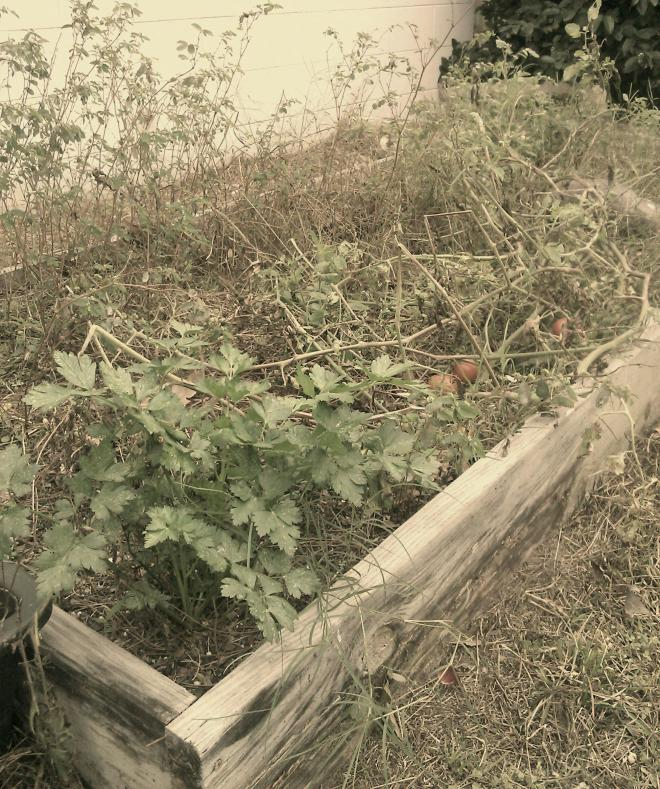 sepia-toned photo of garden bed filled with brown weeds and one large green parsley plant